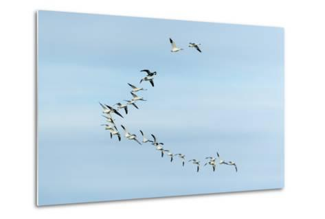 Migrating Flock of Snow Geese, Repulse Bay, Nanavut, Canada-Paul Souders-Metal Print