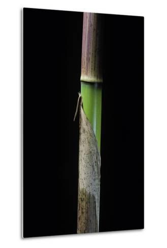 Phyllostachys Flexuosa (Sinuate Bamboo) - Young Culm-Paul Starosta-Metal Print
