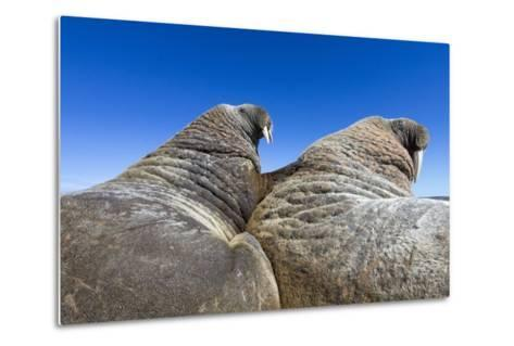 Walruses on Iceberg, Hudson Bay, Nunavut, Canada-Paul Souders-Metal Print