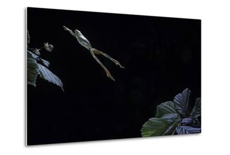 Hyla Meridionalis (Mediterranean Tree Frog) - Leaping-Paul Starosta-Metal Print