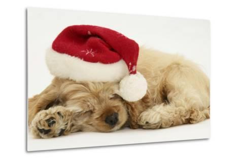 Buff American Cocker Spaniel Puppy, China, 10 Weeks Old, Asleep with Father Christmas Hat On-Mark Taylor-Metal Print