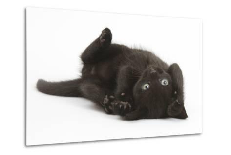 Black Kitten, 7 Weeks, Rolling on its Back-Mark Taylor-Metal Print