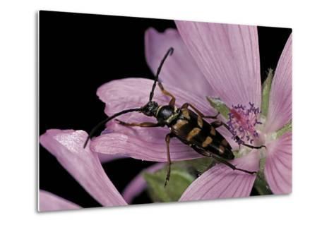 Leptura Aurulenta (Longhorn Beetle)-Paul Starosta-Metal Print