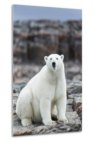 Polar Bear on Harbour Islands, Hudson Bay, Nunavut, Canada-Paul Souders-Metal Print