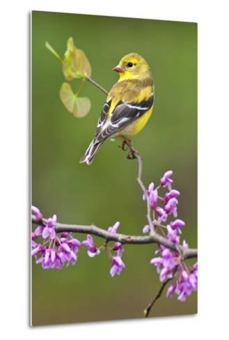 American Goldfinch-Lantern Press-Metal Print