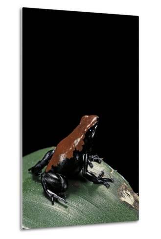 Adelphobates Galactonotus (Splash-Backed Poison Frog)-Paul Starosta-Metal Print