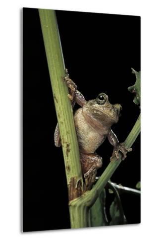 Hyla Versicolor (Gray Treefrog)-Paul Starosta-Metal Print