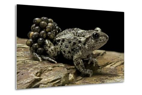 Alytes Obstetricans (Common Midwife Toad) - Male with Eggs-Paul Starosta-Metal Print