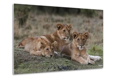 Three Lion Cubs, Panthera Leo, Resting Together-Sergio Pitamitz-Metal Print