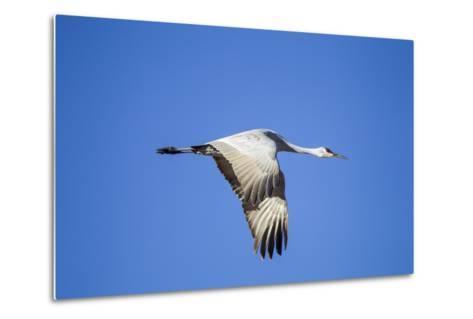 Sandhill Crane in Flight, Bosque Del Apache, New Mexico-Paul Souders-Metal Print