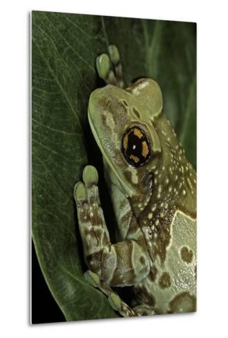 Phrynohyas Resinifictrix (Amazon Milk Frog)-Paul Starosta-Metal Print