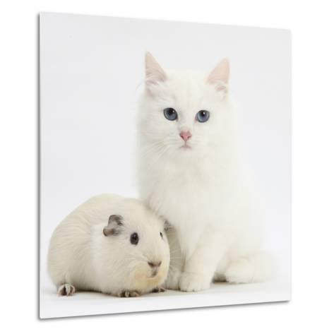 White Main Coon-Cross Kitten with White Guinea Pig-Mark Taylor-Metal Print