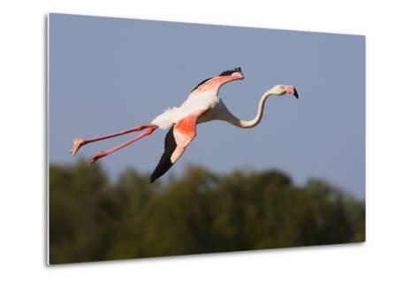 Greater Flamingo (Phoenicopterus Roseus) in Flight, Camargue, France, May 2009-Allofs-Metal Print