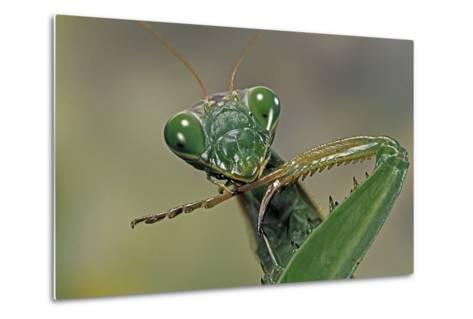 Mantis Religiosa (Praying Mantis) --Paul Starosta-Metal Print