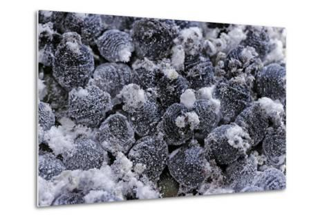 Dactylopius Coccus (Opuntia Cochineal Scale)-Paul Starosta-Metal Print
