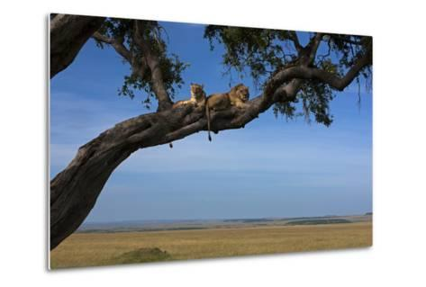 Two Lions Lying Next to Each Other in a Tree-Beverly Joubert-Metal Print