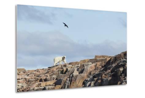 Polar Bear on Harbour Islands, Hudson Bay, Nunavut, Canada-Paul Souders-Metal Print