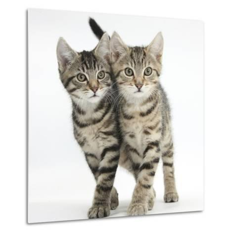 Tabby Kittens, Stanley and Fosset, 12 Weeks, Walking Together in Unison-Mark Taylor-Metal Print