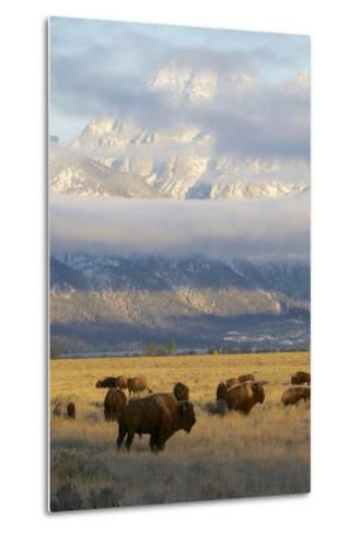 As the Clouds Clear Off the Grand Tetons, a Herd of Bison Graze in a Large Meadow-Barrett Hedges-Metal Print