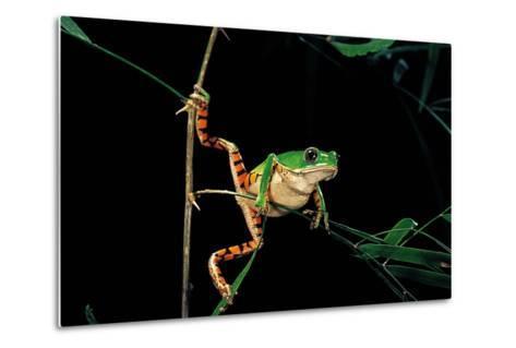 Phyllomedusa Hypochondrialis Azurea (Northern Orange-Legged Leaf Frog)-Paul Starosta-Metal Print