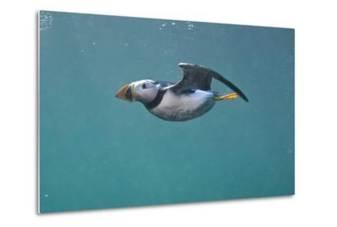 Puffin (Fratercula Arctica) Swimming Underwater, Farne Islands, Northumberland, UK, July-Alex Mustard-Metal Print
