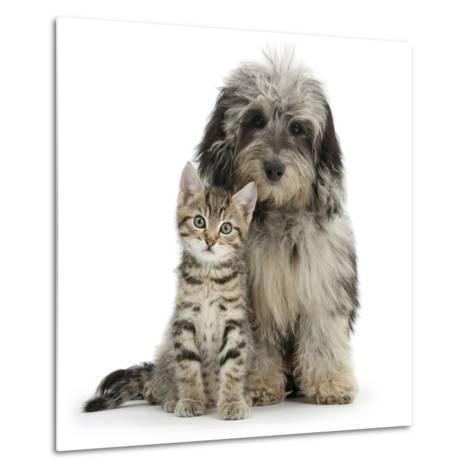 Tabby Kitten 8 Weeks, with Fluffy Black and Grey Daxie Doodle (Daschund Poodle Cross) Puppy-Mark Taylor-Metal Print