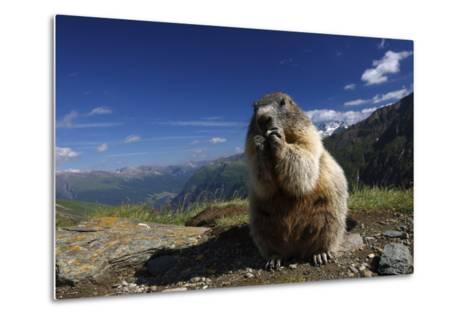 Alpine Marmot (Marmota Marmota) Feeding, Hohe Tauern National Park, Austria, July 2008-Lesniewski-Metal Print