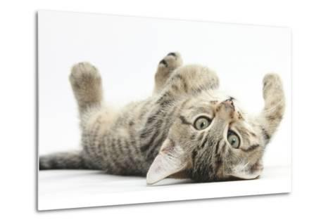 Tabby Male Kitten, Stanley, 12 Weeks, Rolling Playfully on His Back-Mark Taylor-Metal Print