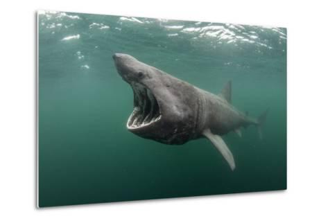 Basking Shark (Cetorhinus Maximus) Feeding at the Surface on Plankton, Cairns of Coll, Scotland, UK-Alex Mustard-Metal Print