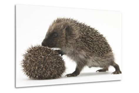 Two Young Hedgehogs (Erinaceus Europaeus) One Standing, One Rolled into a Ball-Mark Taylor-Metal Print
