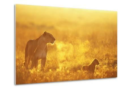 Lioness and Cub--Metal Print