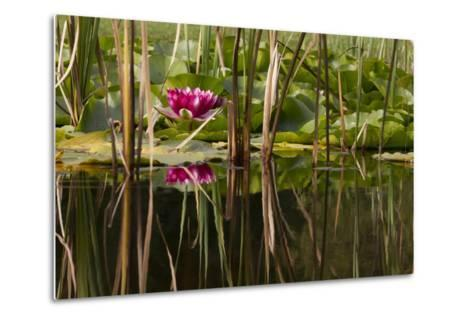 Water Lily in Pond-humbak-Metal Print