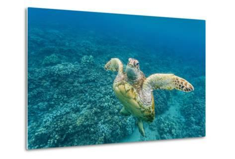 Green Sea Turtle (Chelonia Mydas) Underwater, Maui, Hawaii, United States of America, Pacific-Michael Nolan-Metal Print