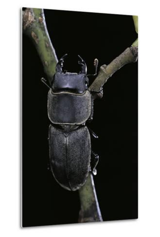 Dorcus Parallelipipedus (Small Stag Beetle)-Paul Starosta-Metal Print