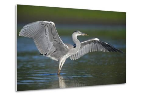 Grey Heron with Wings Out Stretched, Elbe Biosphere Reserve, Lower Saxony, Germany, September-Damschen-Metal Print