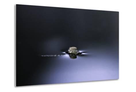 Culex Pipiens (Common House Mosquito) - Emerging (D2)-Paul Starosta-Metal Print