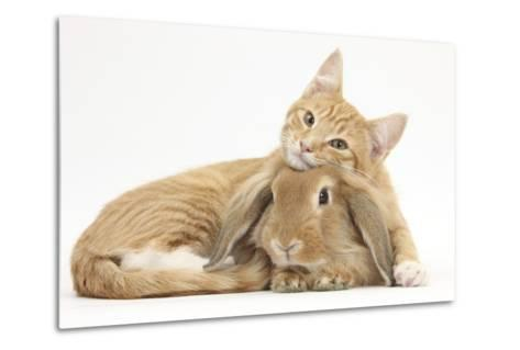 Sleepy Ginger Kitten with Sandy Lionhead-Lop Rabbit-Mark Taylor-Metal Print