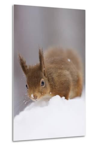 Red Squirrel (Sciurus Vulgaris) Foraging in Snow, Glenfeshie, Cairngorms Np, Scotland, February-Cairns-Metal Print