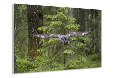 Great Grey Owl (Strix Nebulosa) in Flight in Boreal Forest, Northern Oulu, Finland, June 2008-Cairns-Metal Print