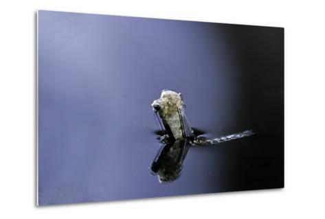 Culex Pipiens (Common House Mosquito) - Emerging (A4)-Paul Starosta-Metal Print