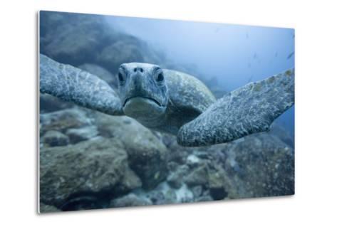 Green Turtle in the Galapagos Islands--Metal Print