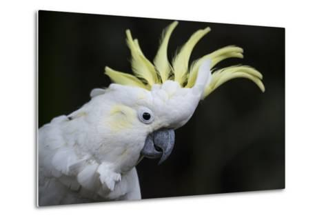 Portrait of a Sulphur-Crested Cockatoo-Michael Melford-Metal Print