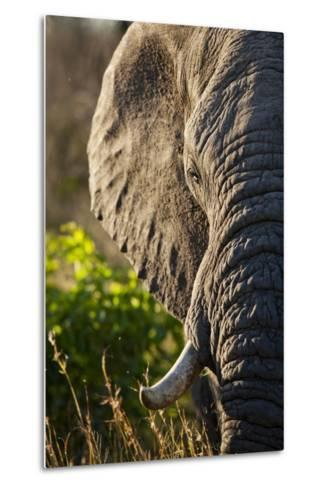 Elephant, Sabi Sabi Reserve, South Africa--Metal Print