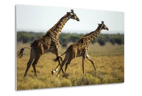 Giraffe Herd--Metal Print