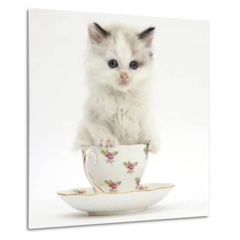 Colourpoint Kitten in a Tea Cup-Mark Taylor-Metal Print