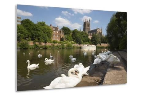 Swans Beside the River Severn and Worcester Cathedral, Worcester, Worcestershire, England-Stuart Black-Metal Print