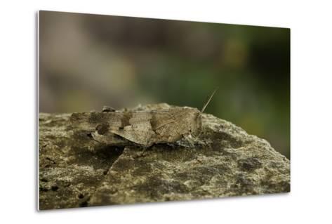 Oedipoda Caerulescens (Blue-Winged Grasshopper)-Paul Starosta-Metal Print
