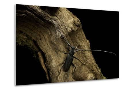 Cerambyx Cerdo (Great Capricorn Beetle)-Paul Starosta-Metal Print
