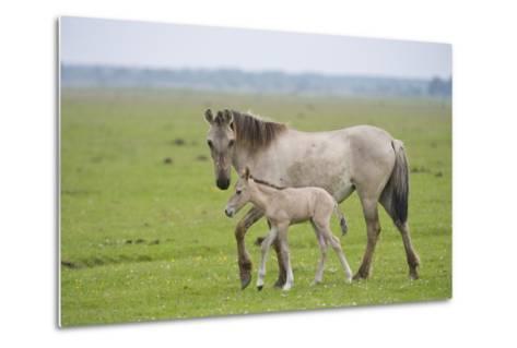 Konik Horse, Mare with Young Foal, Oostvaardersplassen, Netherlands, June 2009-Hamblin-Metal Print