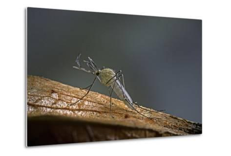 Culex Pipiens (Common House Mosquito)-Paul Starosta-Metal Print